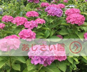大阪城公園「あじさい園」