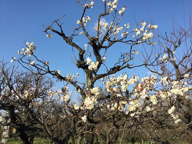 大阪城公園の梅、冬至