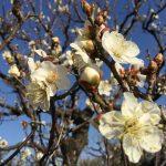 大阪城公園の梅林、梅(種類:冬至)