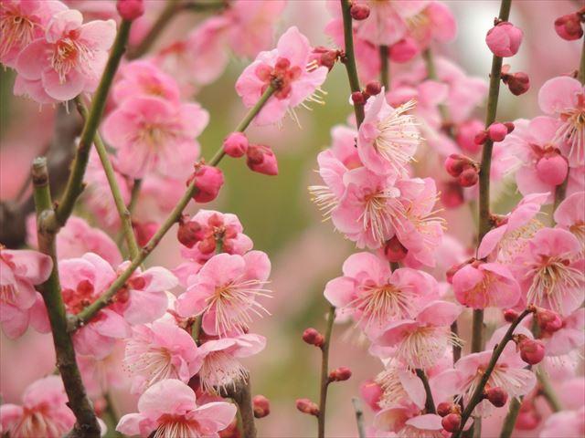 大阪城、梅の花