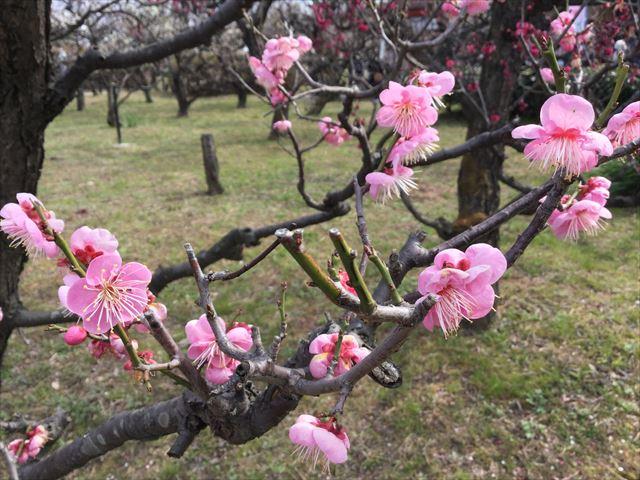 大阪城「梅林」の梅、2月下旬撮影