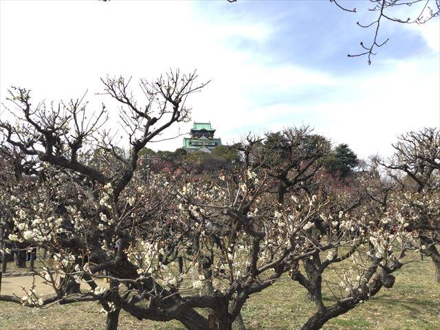 大阪城と「梅林」の梅