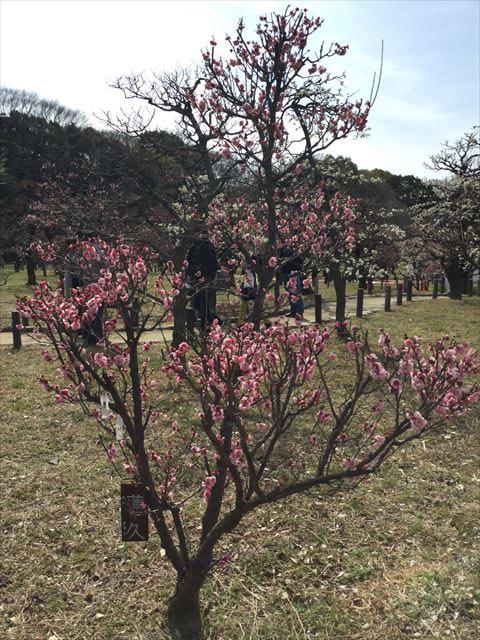 大阪城「梅林」の梅(蓮久)