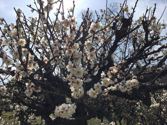 大阪城「梅林」の梅(一重野梅)
