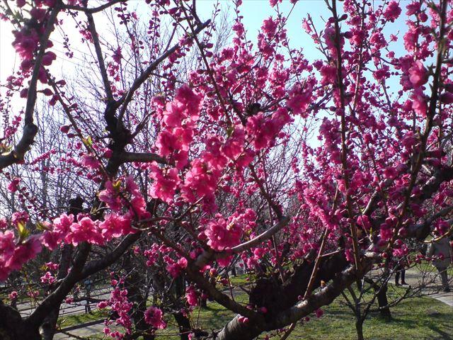 大阪城公園「桃園」の桃