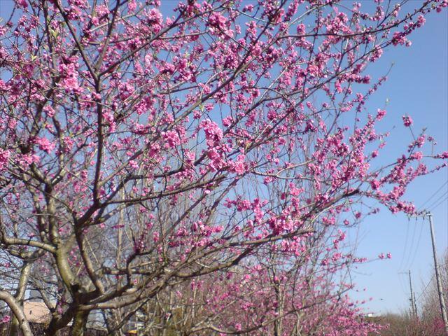 大阪城公園「桃園」の桃の様子(矢口)
