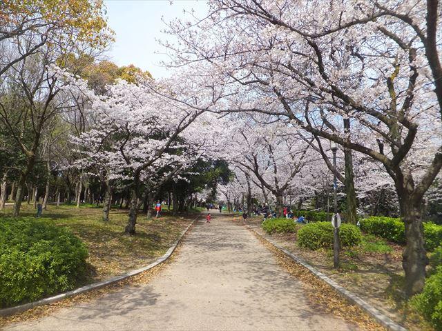 大阪城野外音楽堂前の階段上付近の桜