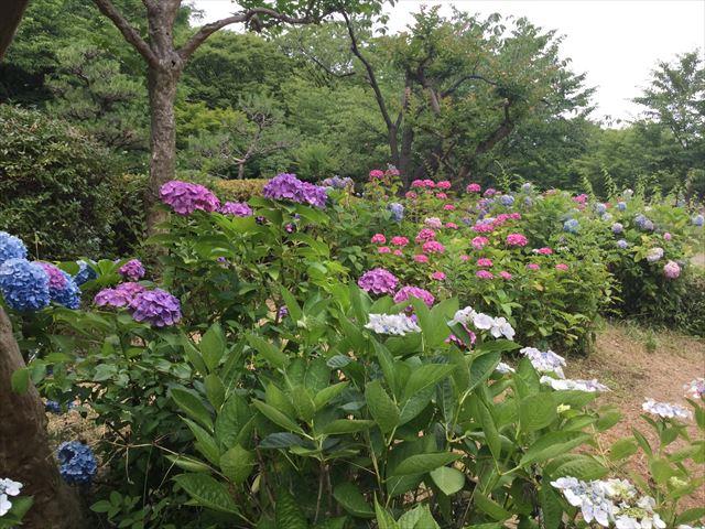 大阪城公園「あじさい園」一面に咲くあじさいの様子