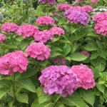 大阪城公園「あじさい園」日本あじさい(ピンク)
